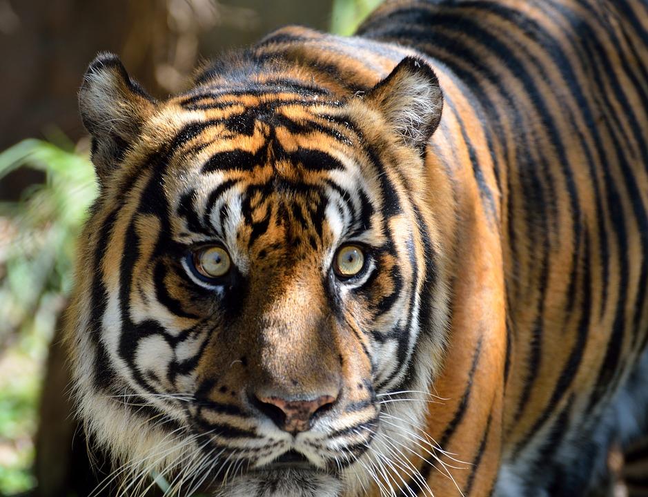 sumatran-tiger-1542714_960_720